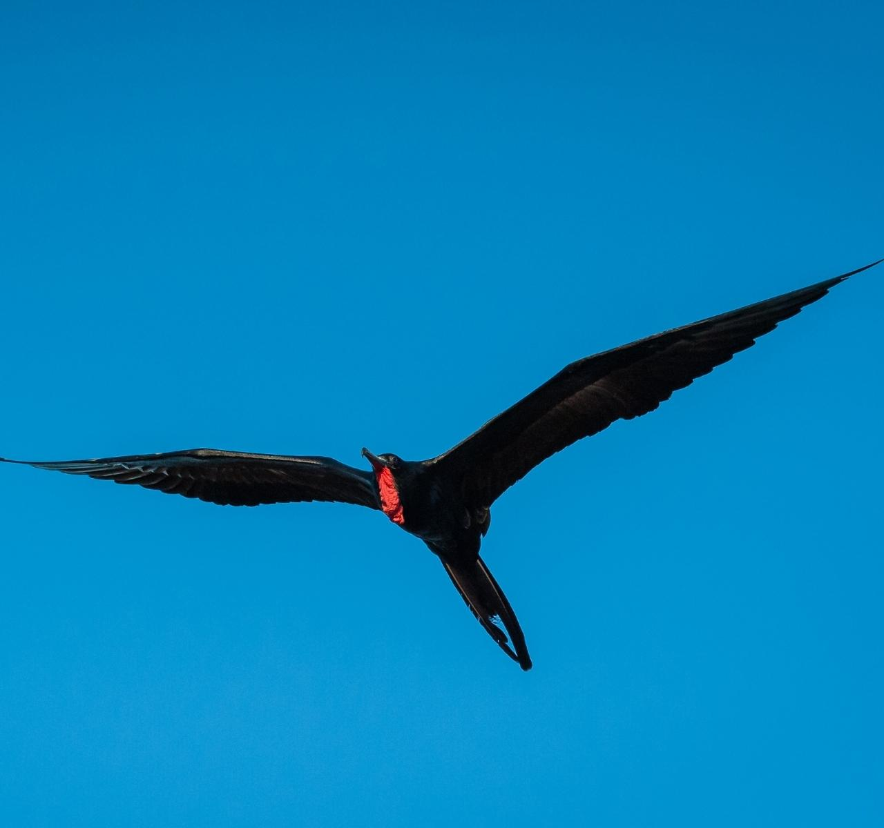 Fregattvogel Guadeloupe