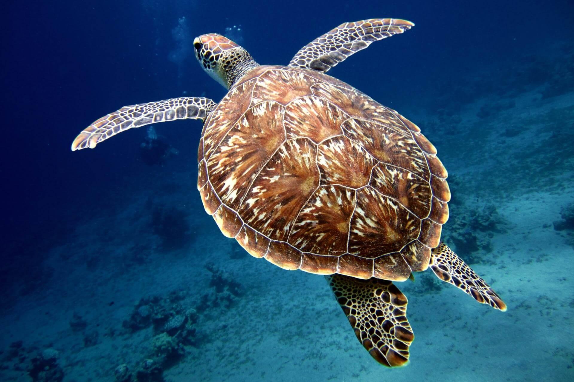 Guadeloupe's Tierwelt am Beispiel einer Meeresschildkröte