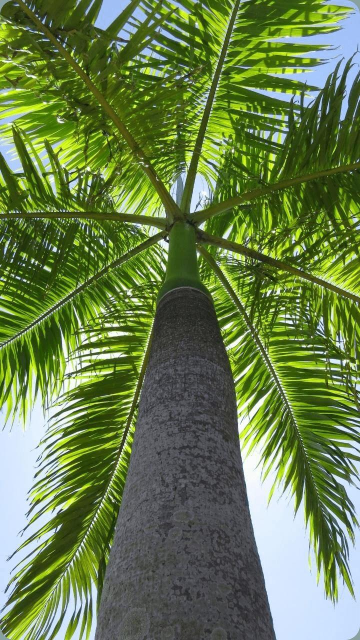 Guadeloupe's Pflanzen, hier sieht man eine Koenigspalme.