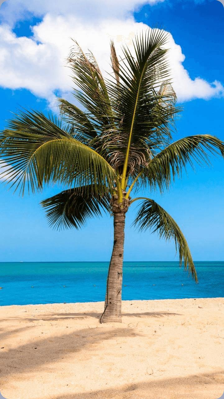 Paradiesisch anzusehen ist die Palme am Strand. - Guadeloupe's Flora