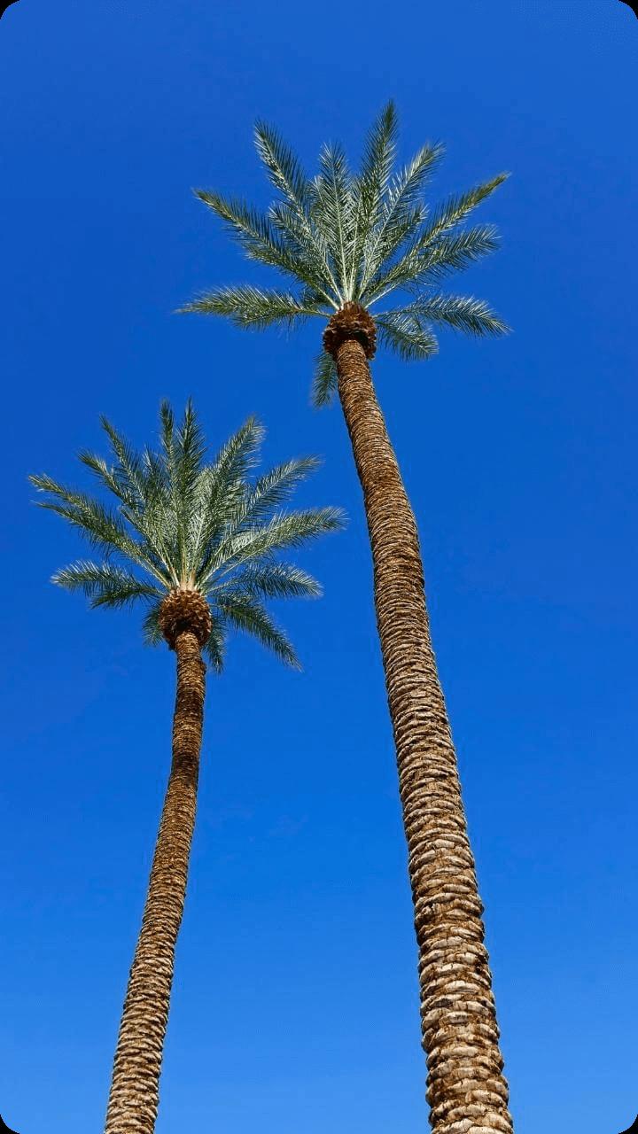 Weit über 20 Meter hohe Palmen wachsen auch auf Guaeloupe. - Guadeloupe's Flora