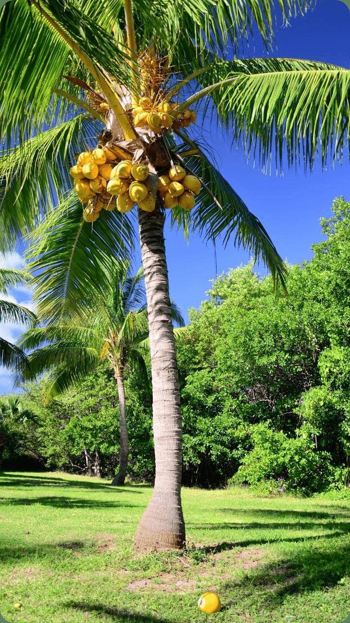 Zur Welt der Pflanzen gehört natürlich auch die Kokospalme. - Guadeloupe's Flora