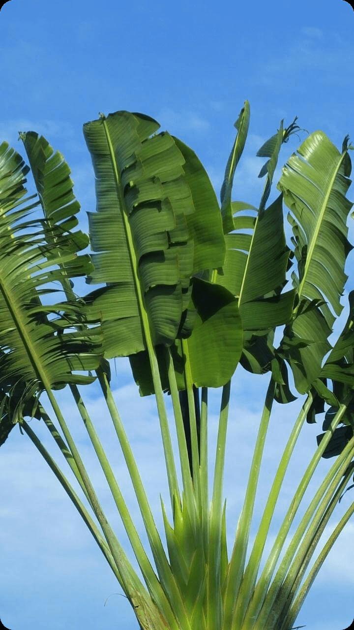 Bild einer Fächerpalme aus Guadeloupe's Pflanzenwelt.