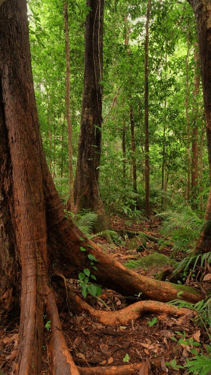 Bilder von Bäumen aus dem Regenwald auf Guadeloupe. - Guadeloupe's Flora