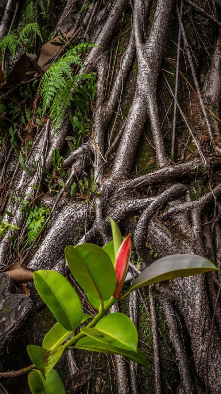 Zu sehen sind die typischen Mangrovenwurzeln aus der Pflanzenwelt Guadeloupe's.