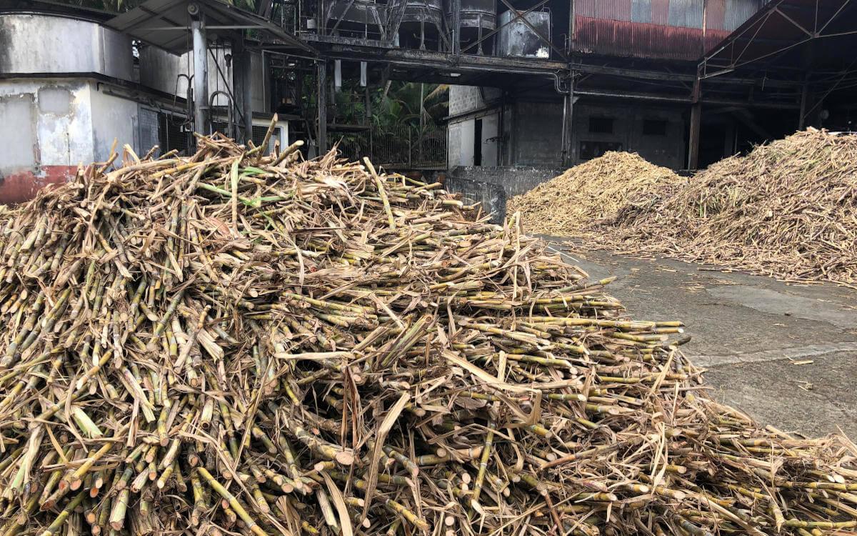 Geerntetes Zuckerrohr wartet auf Verarbeitung zum Rhum Agricole aus Guadeloupe.