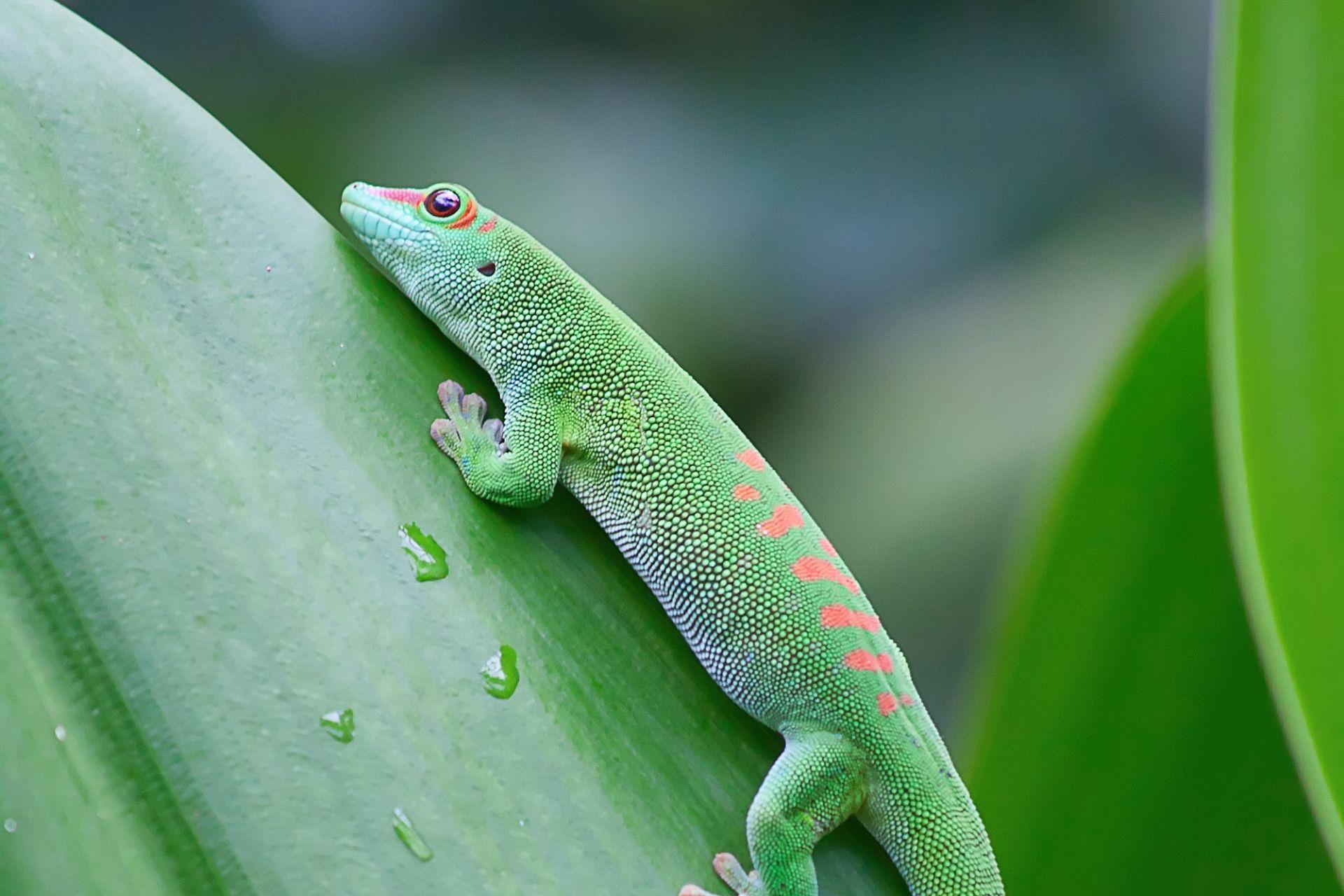 Ein Gecko gehört auch zur Fauna in Guadeloupe
