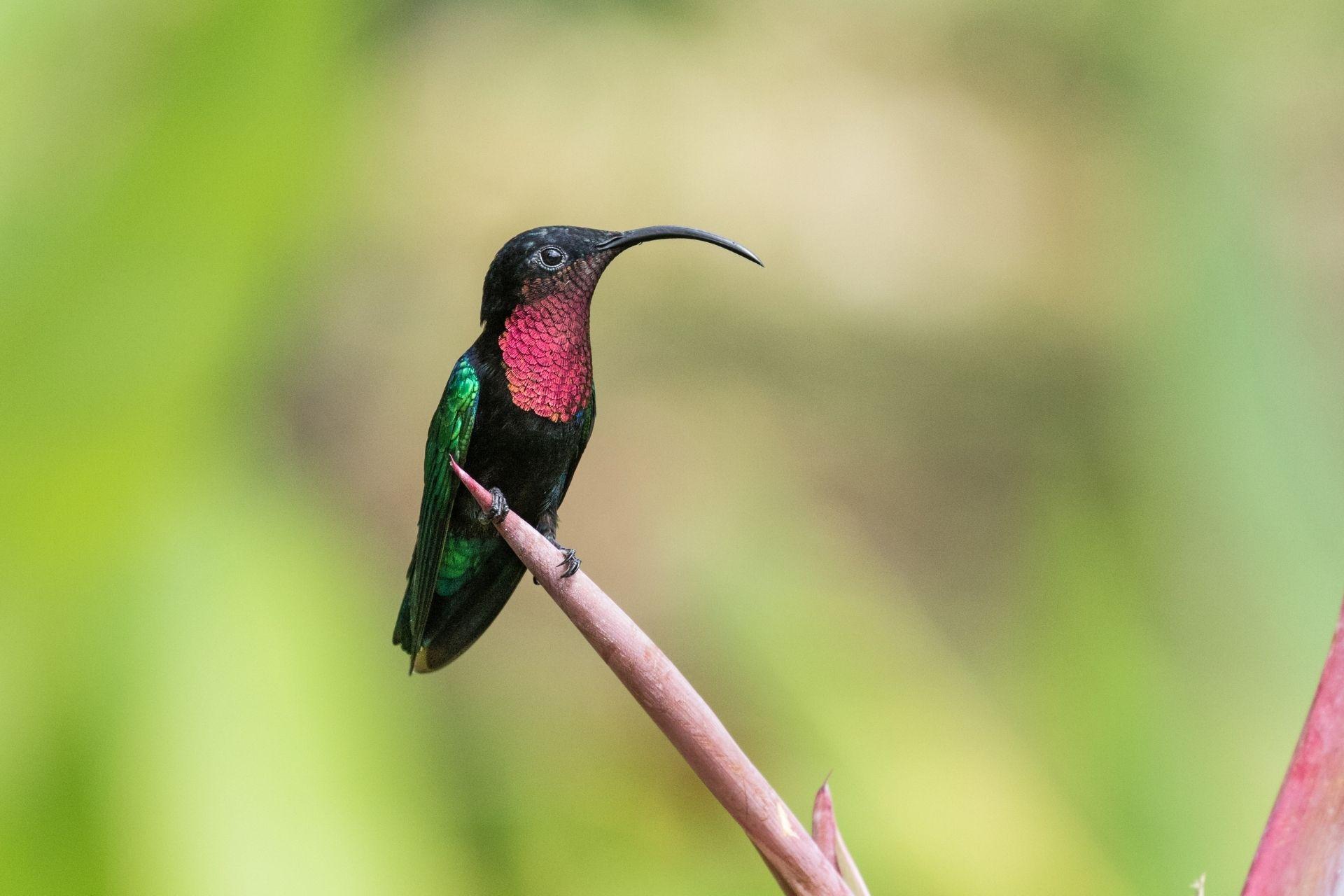 Einer der vielen Kolibris , der Fauna in Guadeloupe