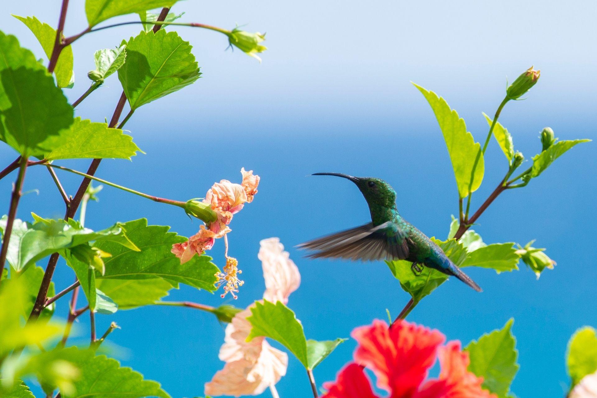Tierwelt in Guadeloupe, hier der Kolibri