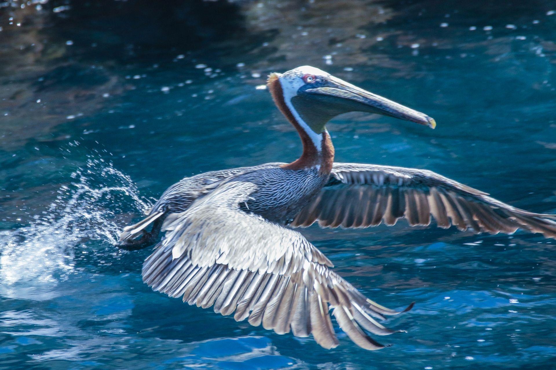 Ornitologen freuen sich über die Vögel, hier ein Pelikan.