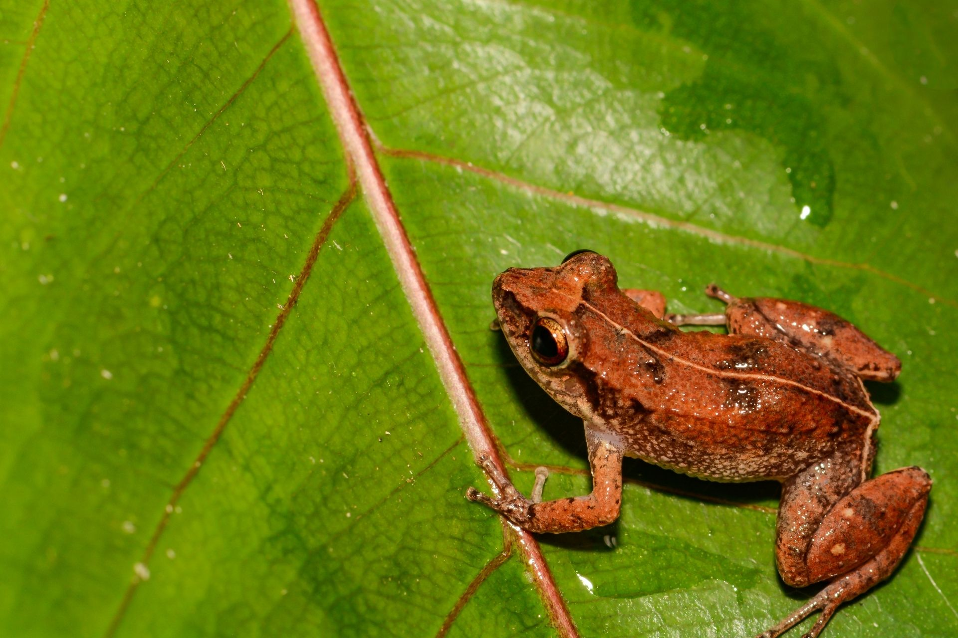 Pfeif-Frosch in Guadeloupes Fauna