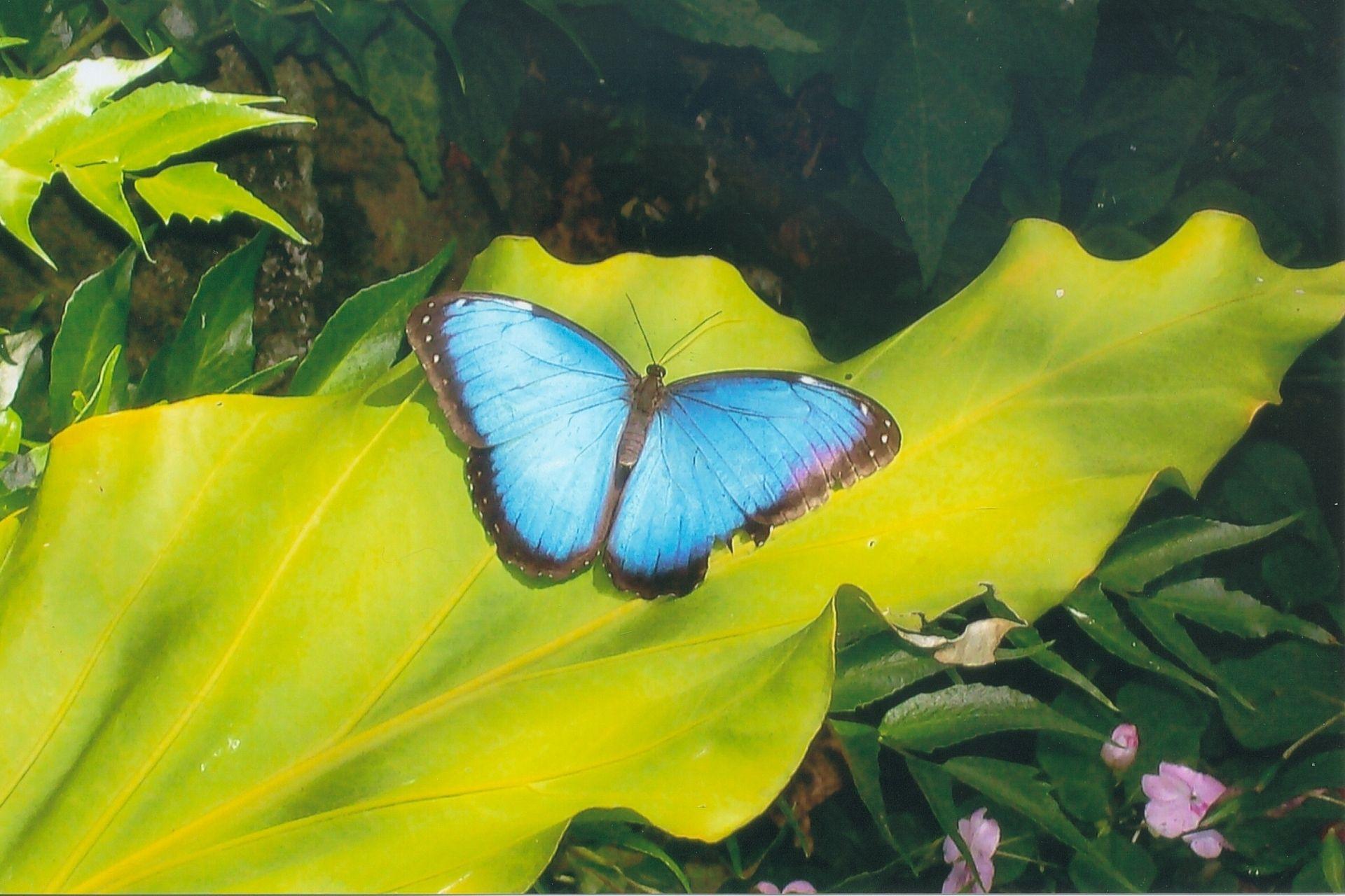 Schmetterlinge gehören zu Guadeloupes Fauna