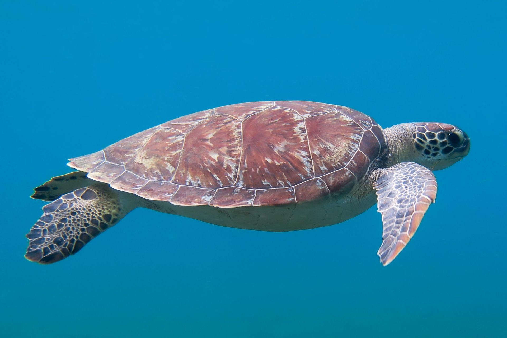 Die Fauna in Guadeloupe zeigt eine Meeresschildköte.