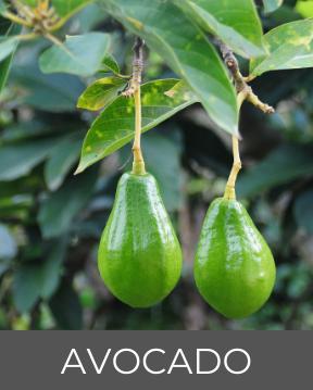 Avocado-Pflanze