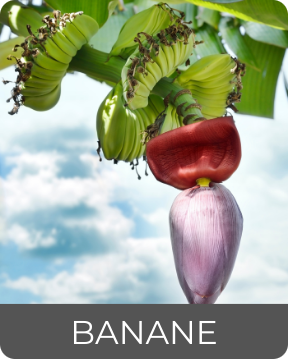 Bananenpflanze zum Thema Guadeloupe's Flora