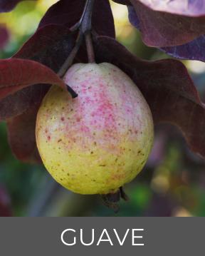 Guavenfrucht-Flora