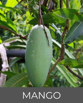 Mangofrucht - Flora