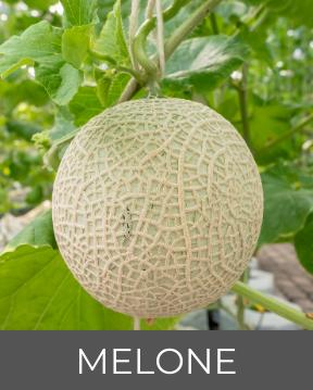Melone Pflanzen Flora