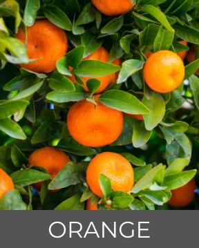 Orangen auf Guadeloupe-Typische Flora