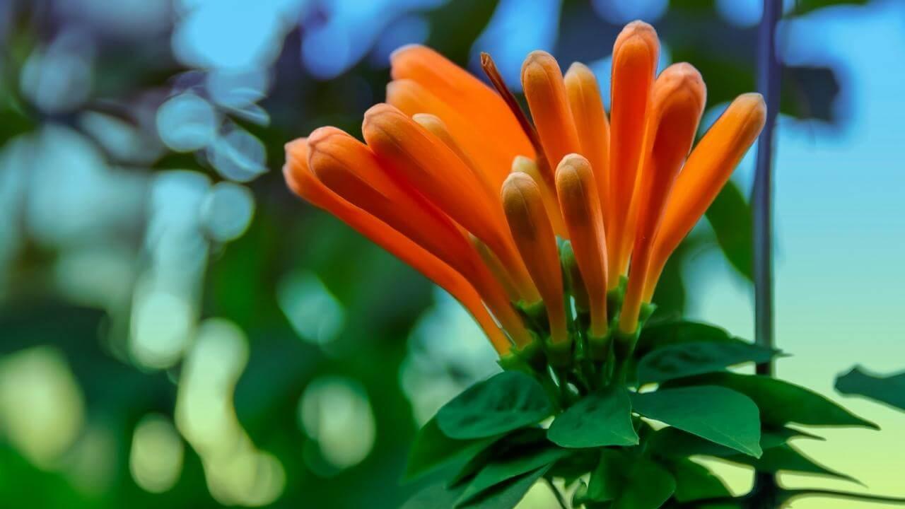 Orangefarbene und geschlossene Blüten zeig diese Pflanze.