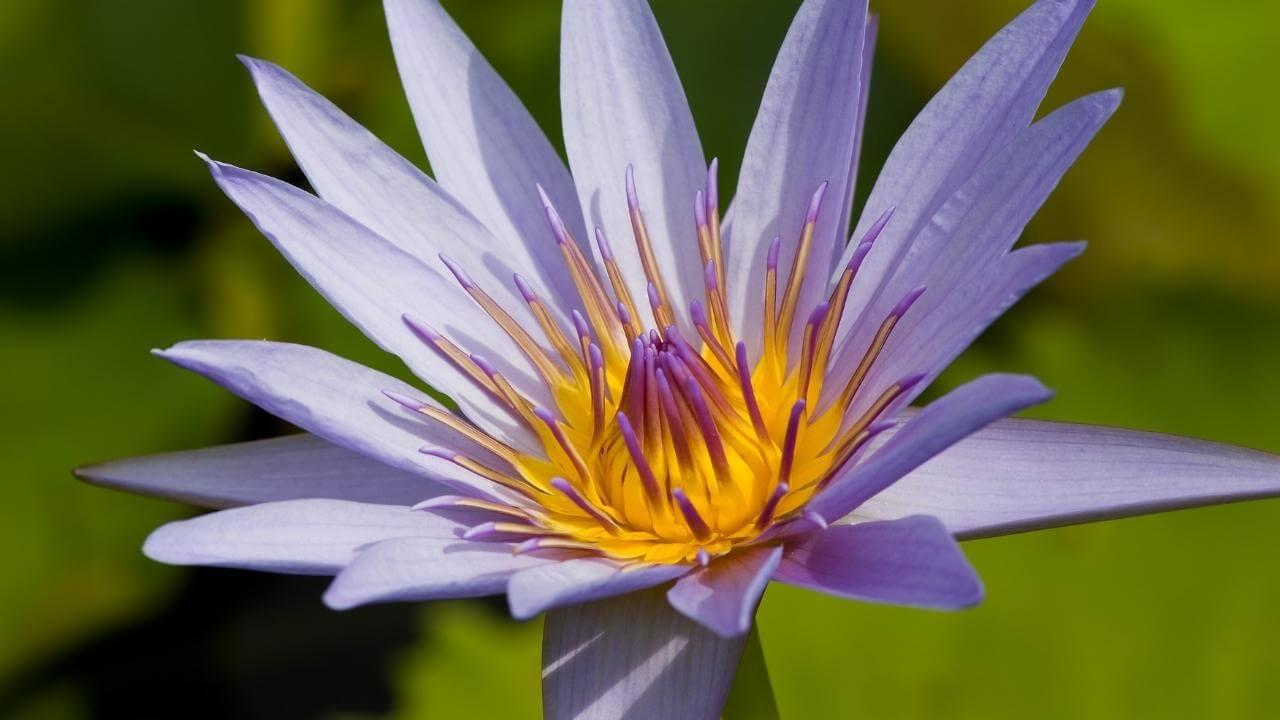 Ähnlich einer Margerite ist diese lilafarbene Blume Bestandteil der Flora Guadeloupe's.