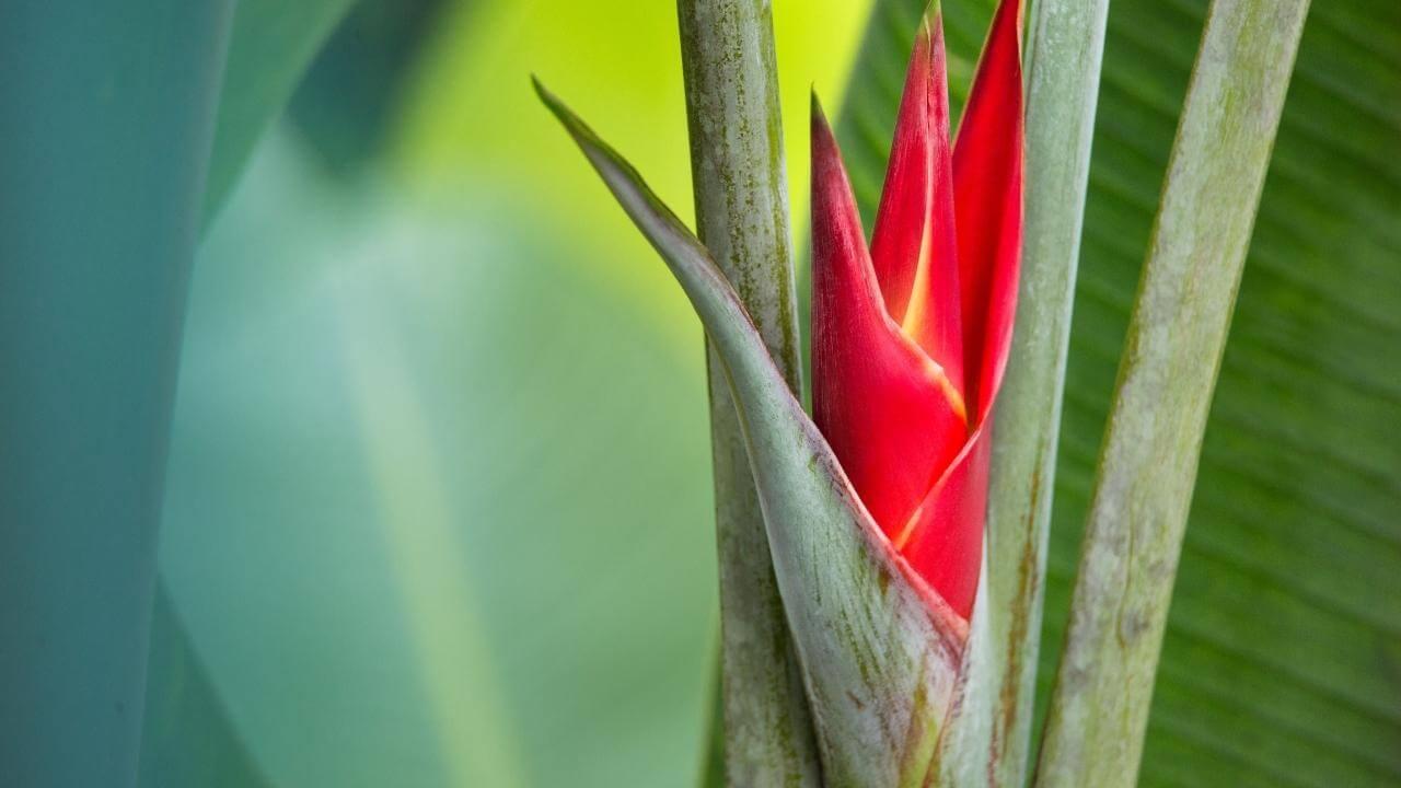 Aus dem Halm keimende Paradiesblume auf Guadeloupe.