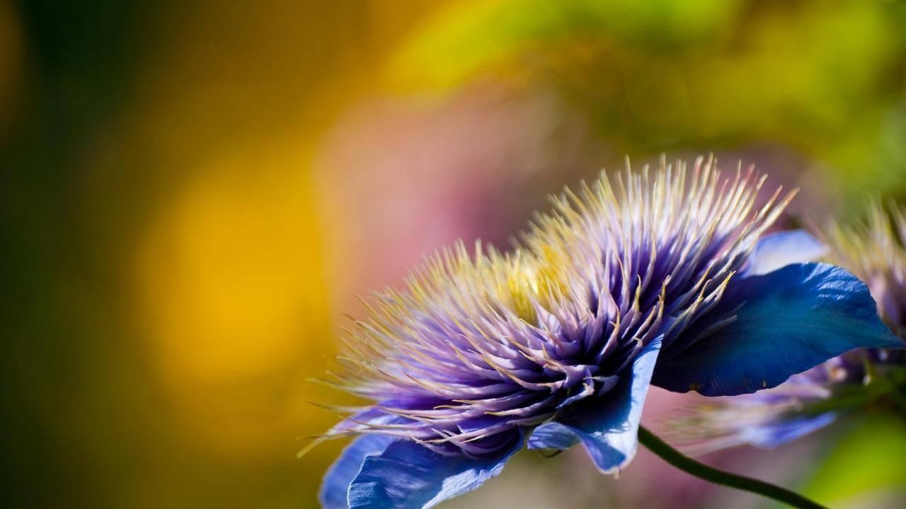 Sich öffnende Blüte auf Guadeloupe.