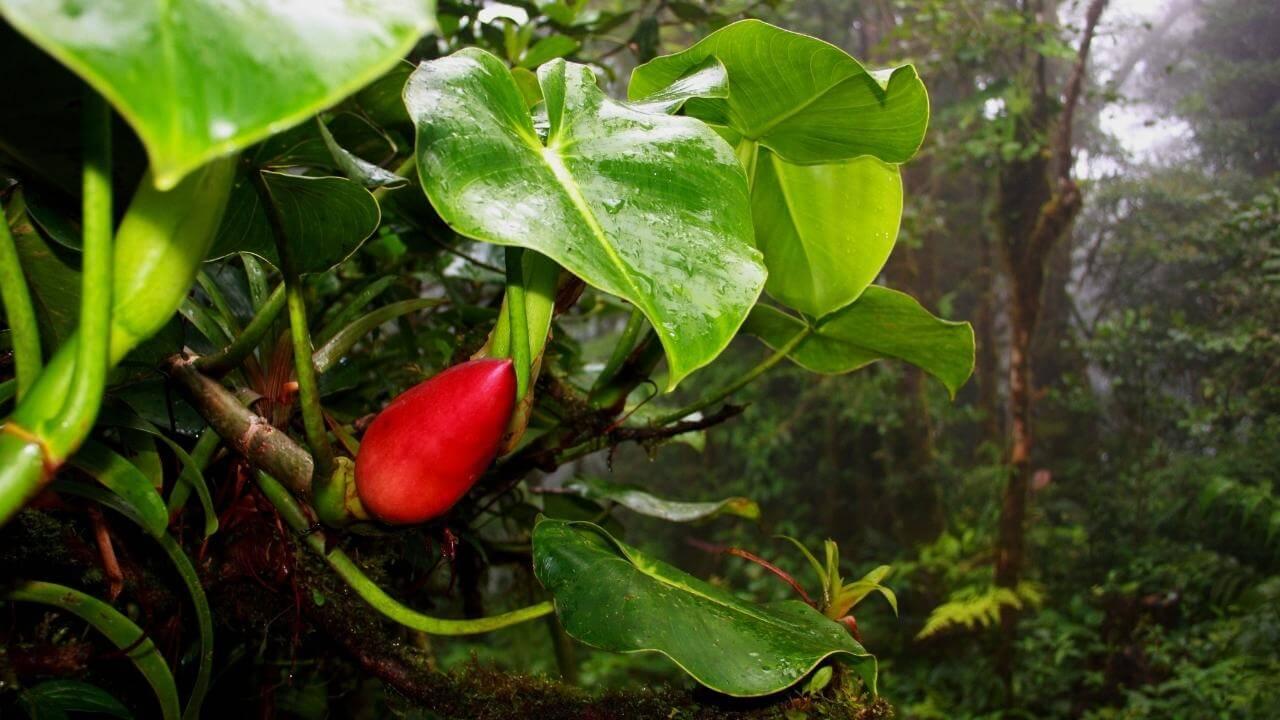 Rote Blüte inmitten von Guadeloupes fantastischer Flora.