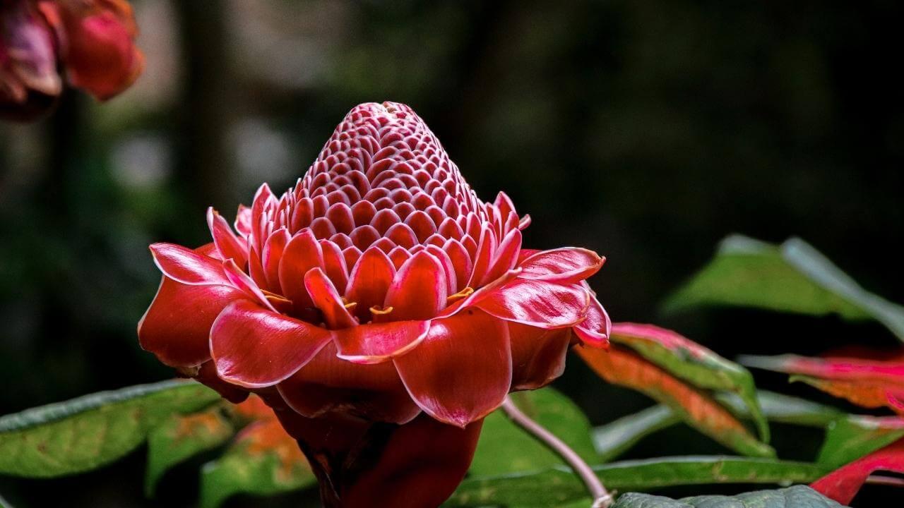 Eine rote Blüte einer tropischen Blume