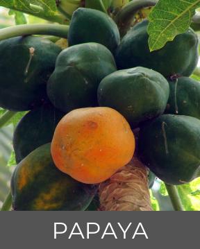 Papaya - Guadeloupe's Flora