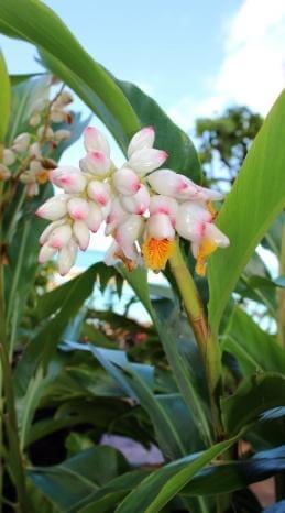 Guadeloupe's Flora mit weißen und Rosinen Blüten.