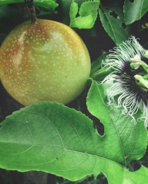 Passionsfrucht aus Guadeloupe - Guadeloupe's Flora.