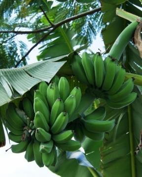 Guadeloupe's Flora zeigt sich mit Bananen.