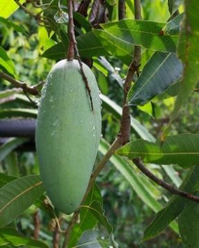 Guadeloupe's Flora präsentiert die Mangos.