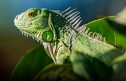 Guadeloupe's Tierwelt, hier der Leguan