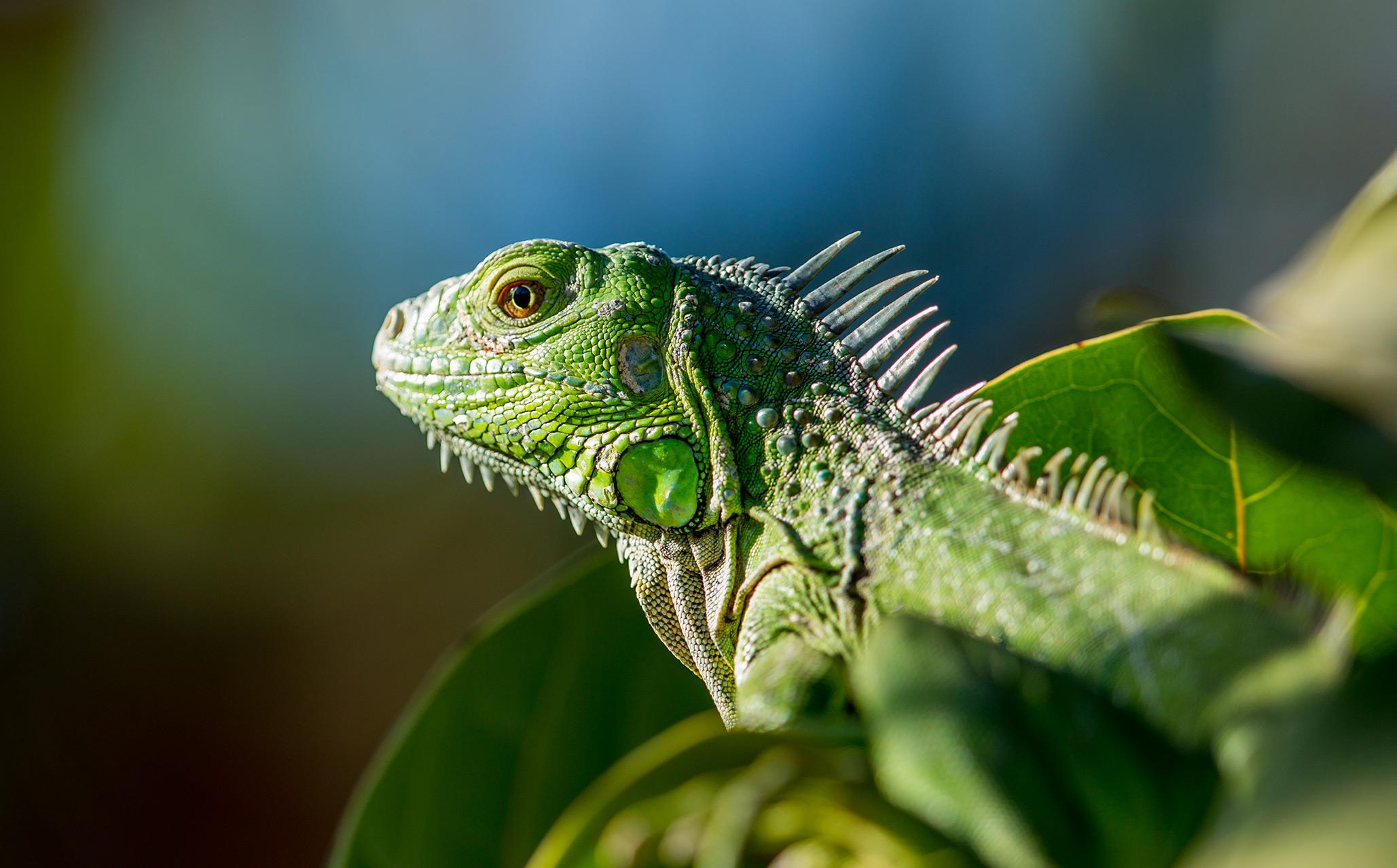 leguan ist Teil der Fauna auf Guadeloupe